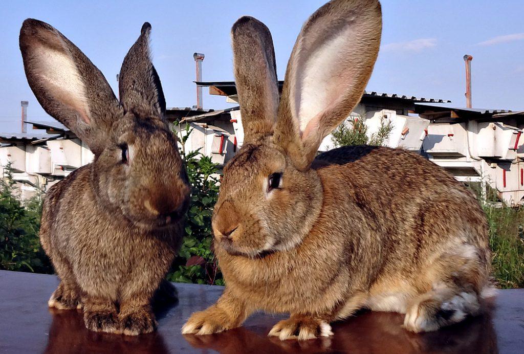 Разведение кроликов породы фландр