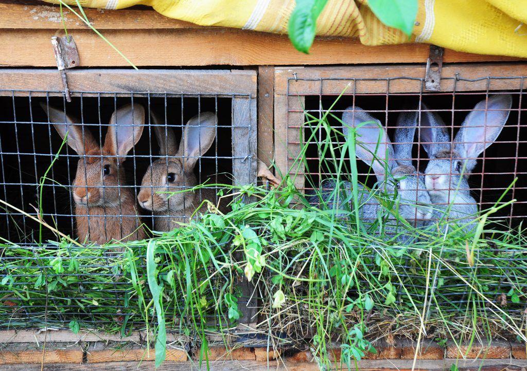 Особенности размножения кроликов