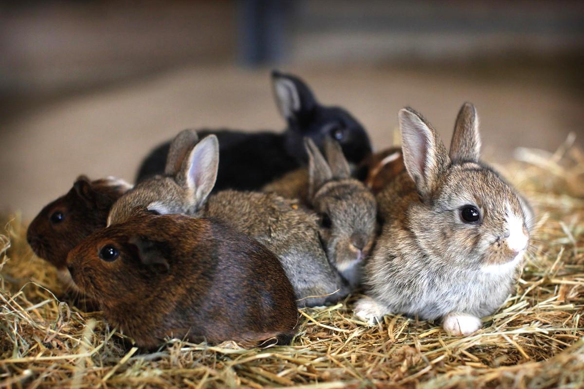 Особенности содержания и разведения кроликов