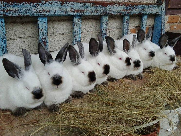 Выбор кроликов для разведения