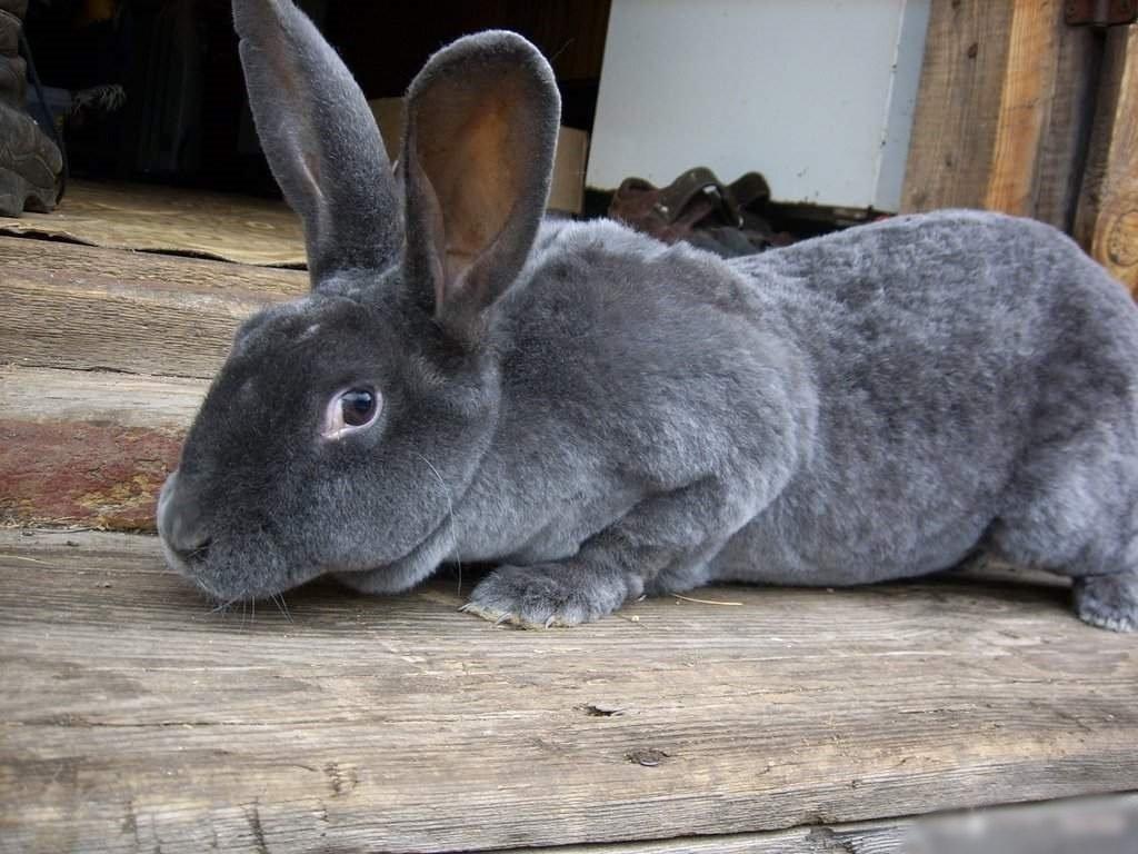 Разведение кроликов Рекс