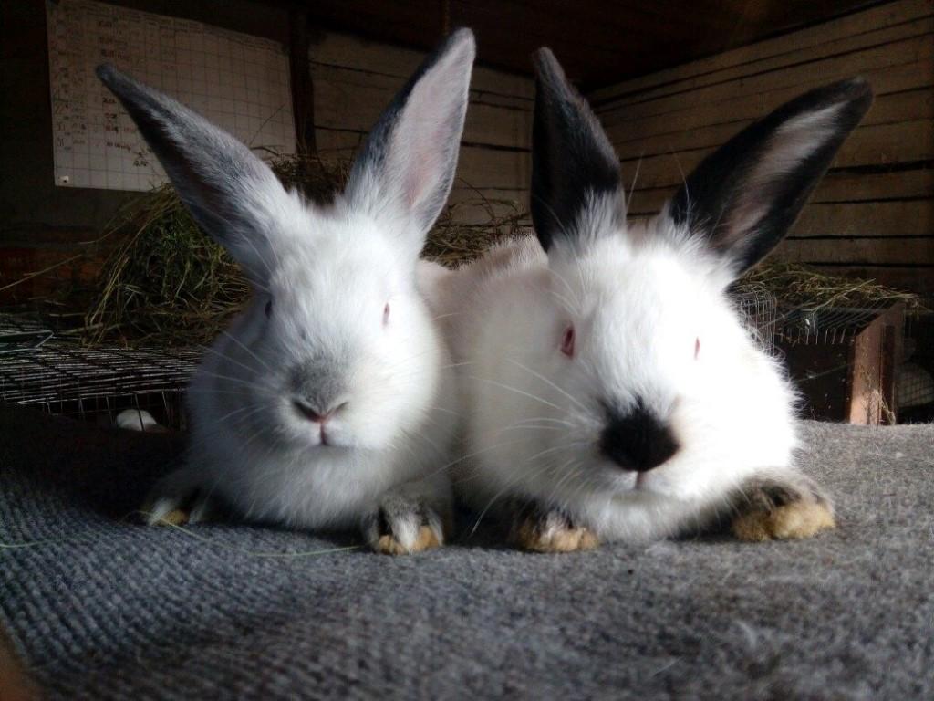 Калифорнийская порода кроликов разведение