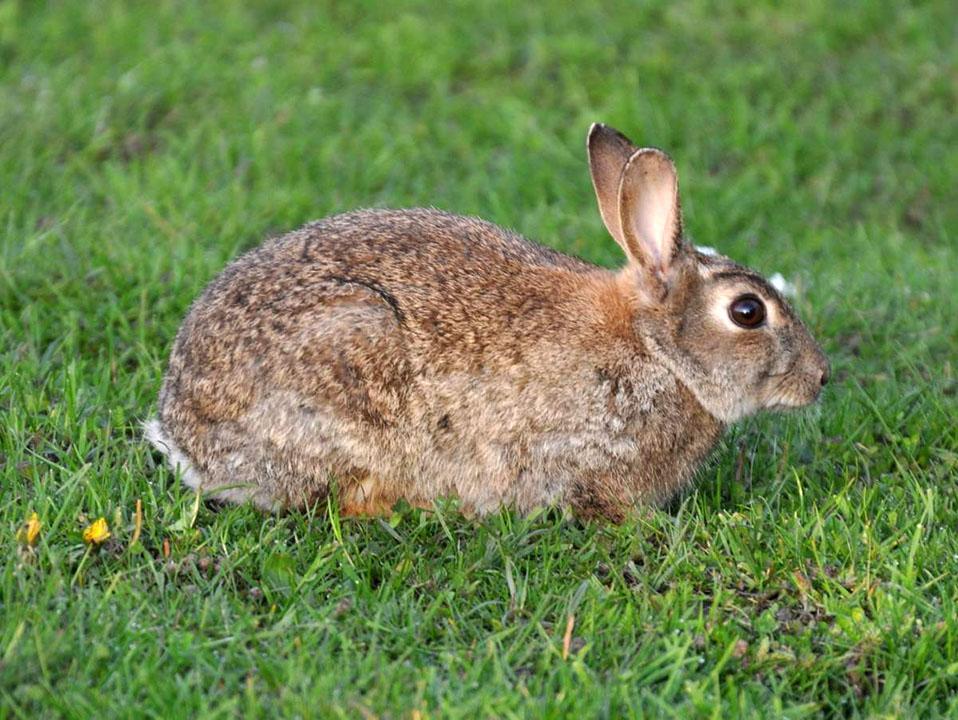 Европейский дикий кролик