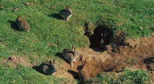 Дикий кролик норки