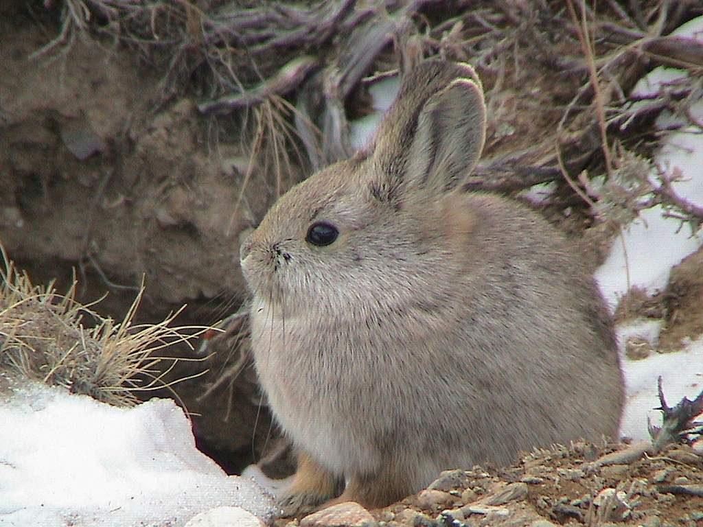 Айдахский кролик (пигмей)