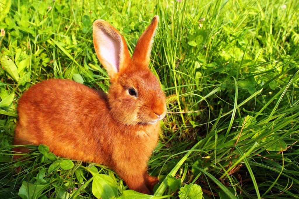 Обыкновенный дикий кролик