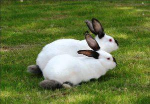 Калифорнийские кролики фото