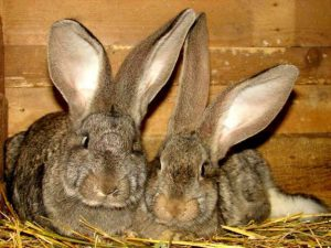 Кролики породы Фландр фото