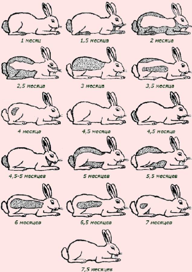 Почему сильно линяет кролик