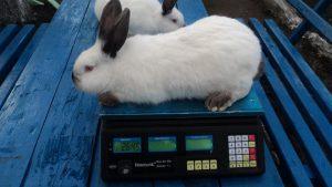 Сколько весит кролик