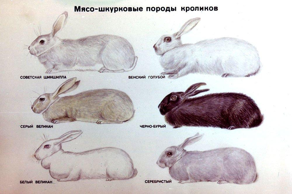 Полтавское серебро кролики: описание, характер