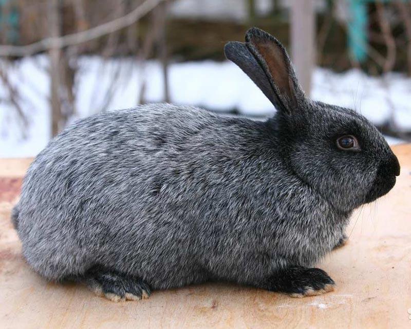 таком случае порода кроликов серебро с фото и описанием собрали