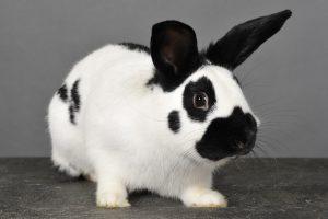 Кролик долматин