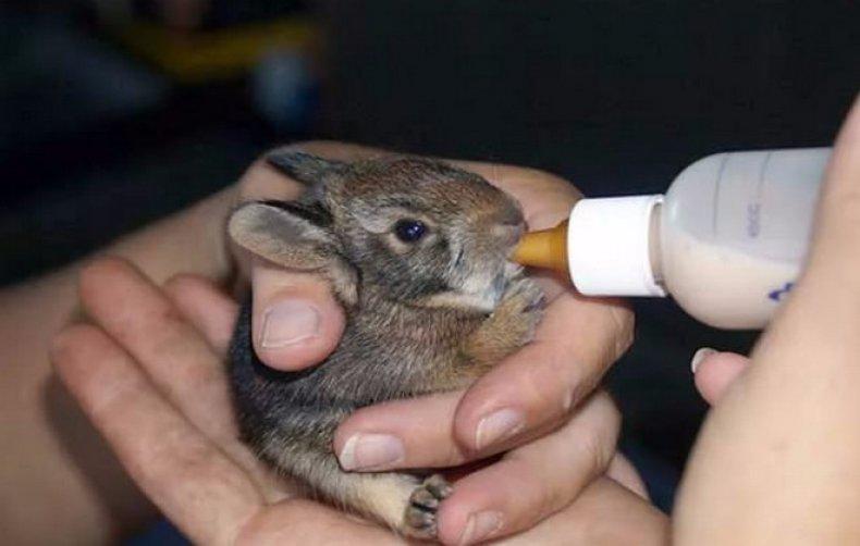Как выкормить крольчат без крольчихи
