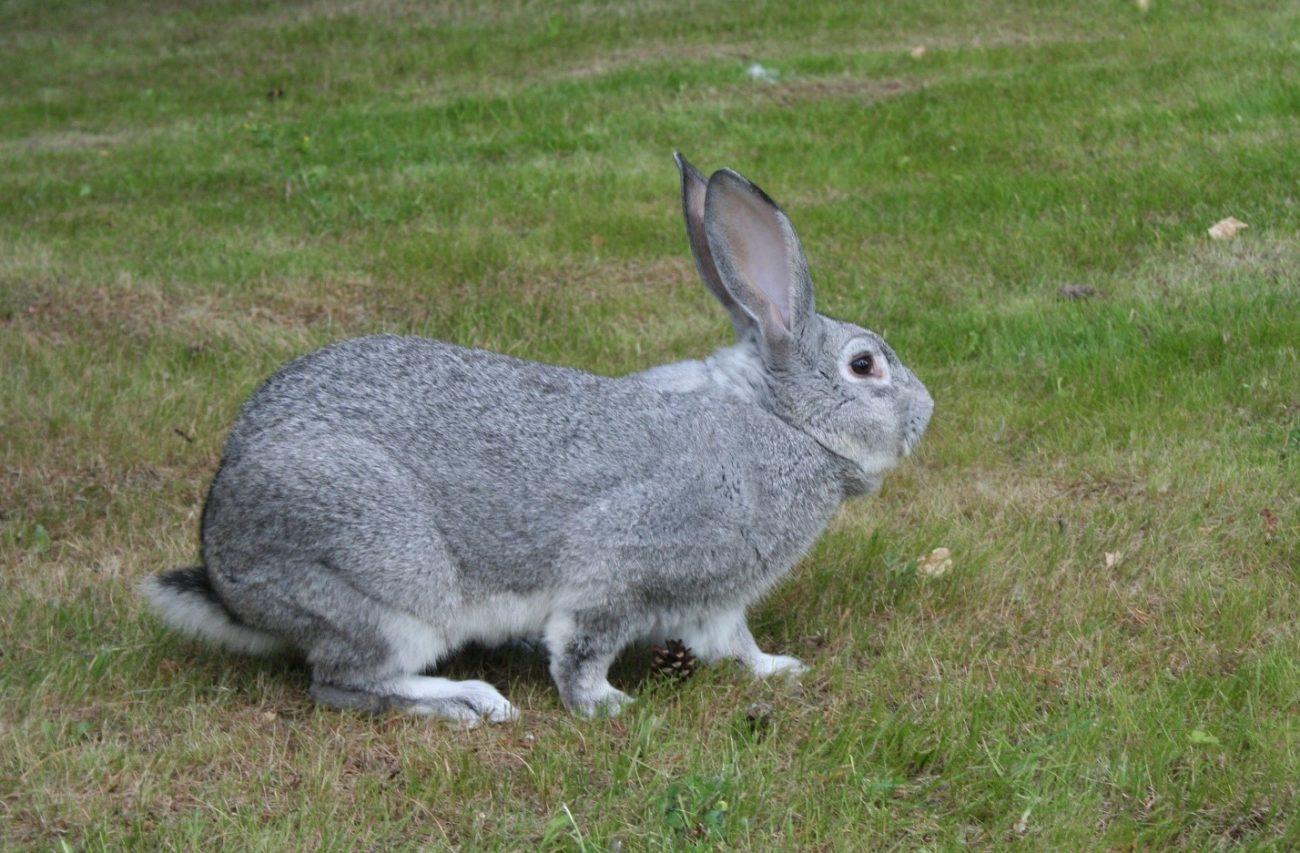 Самый большой кролик в мире