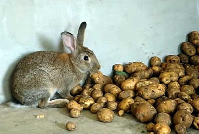 Можно ли кормить кроликов сырой картошкой зимой