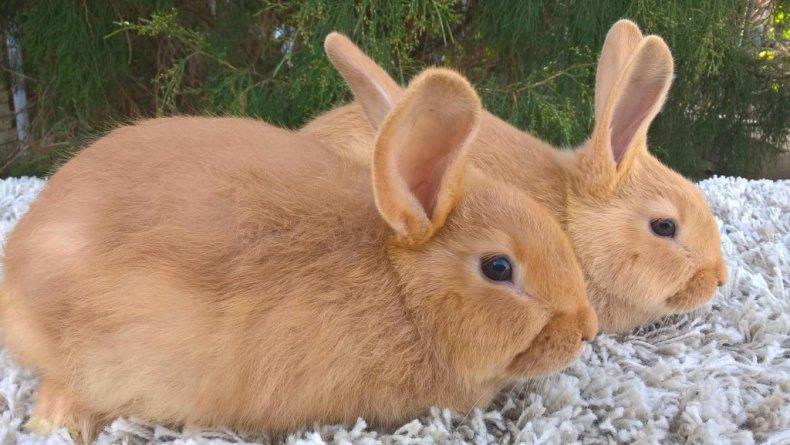 Определить пол кролика