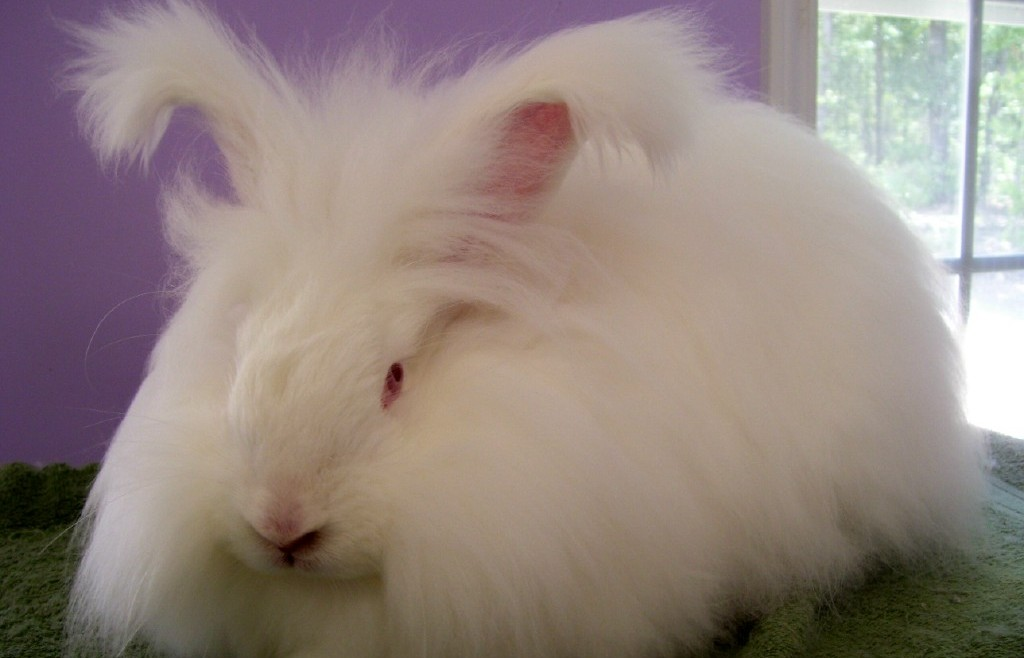Домашний кролик ангорский