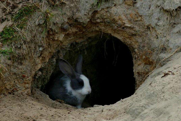 Чем отличается кролик от зайца