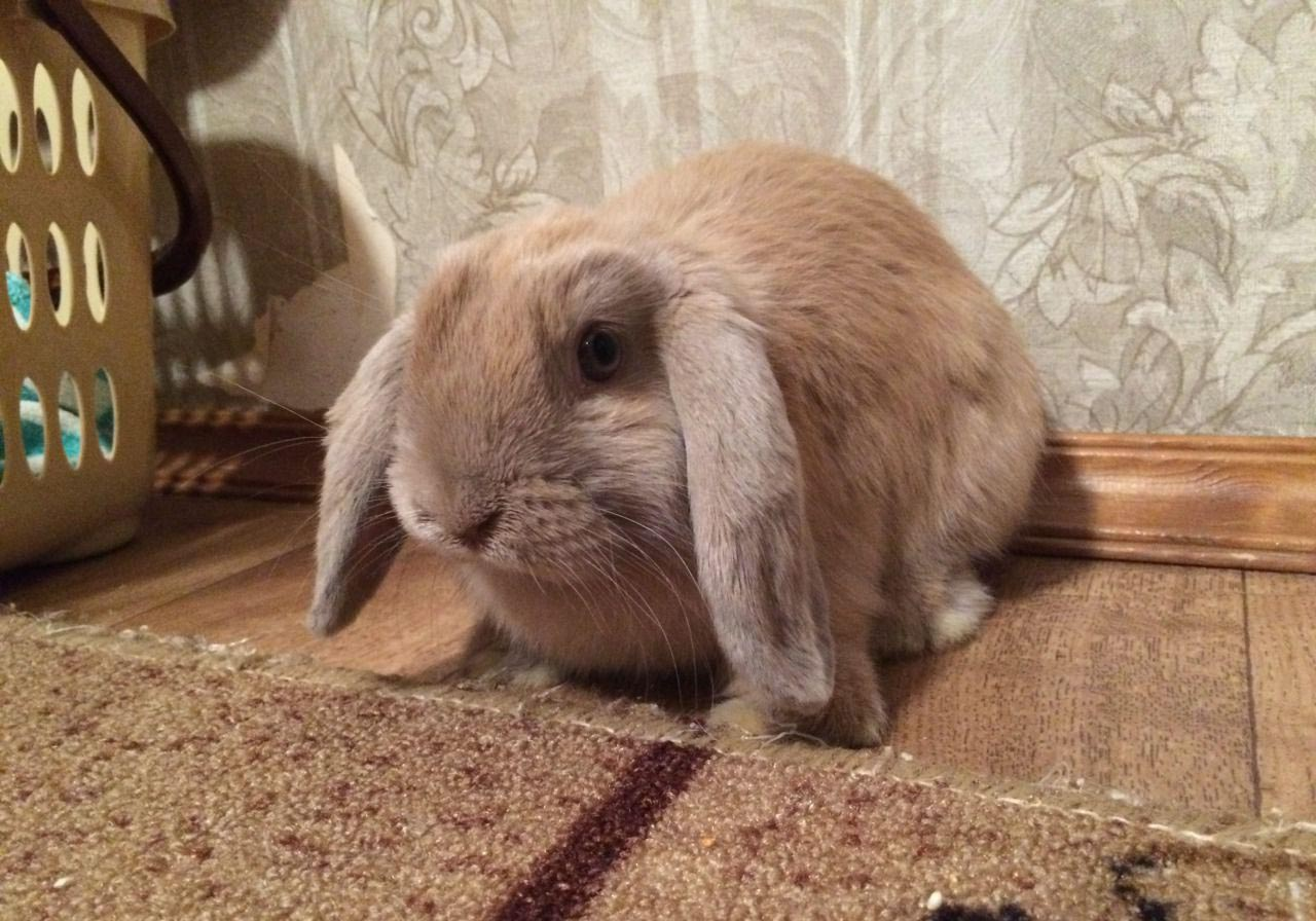Домашний кролик вислоухий баран