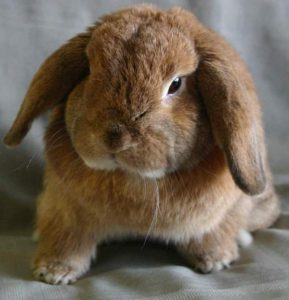 Коричневый кролик баран