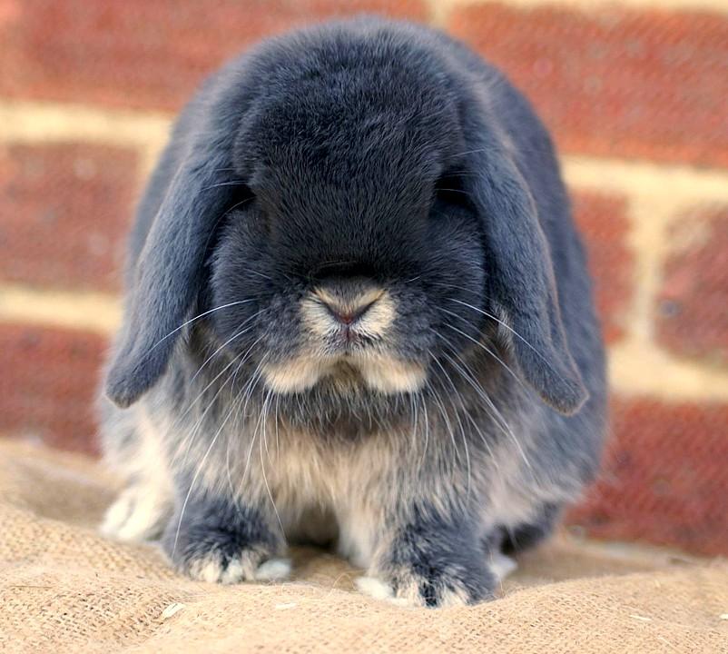 Декоративные кролики вислоухий баран