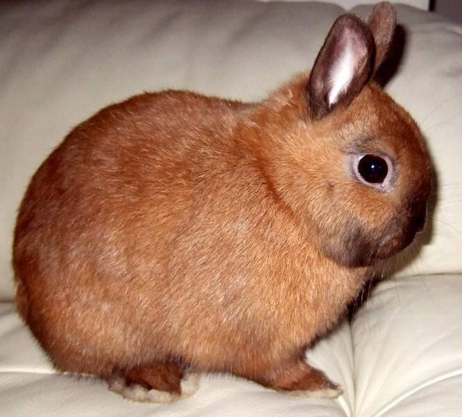 Домашний кролик цветной карликовый