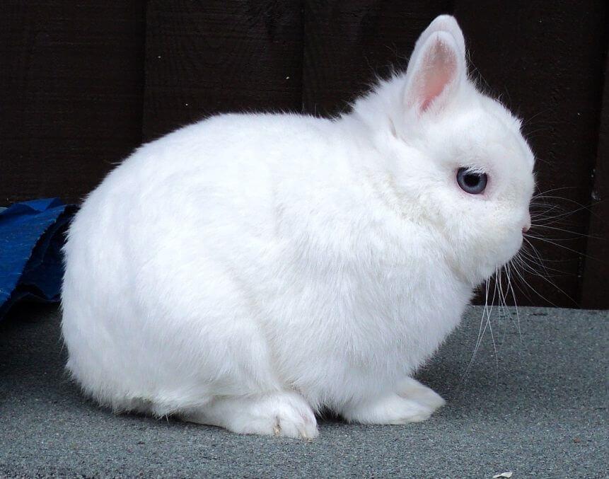 Домашний кролик гермелины