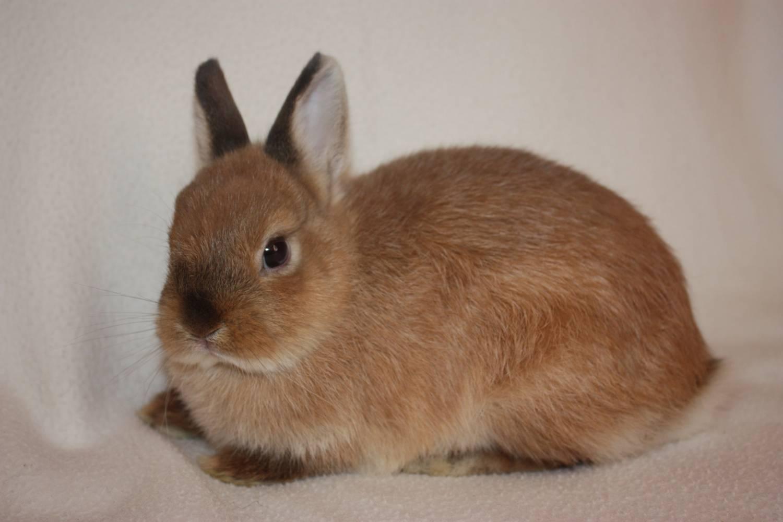 Домашний кролик карликовый рекс