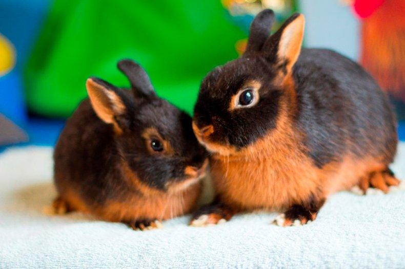 Декоративные кролики цветные карликовые