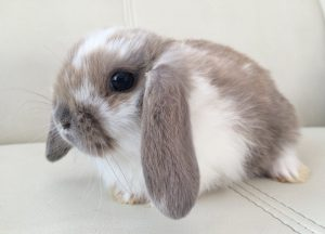 Кролик Баран Милаха