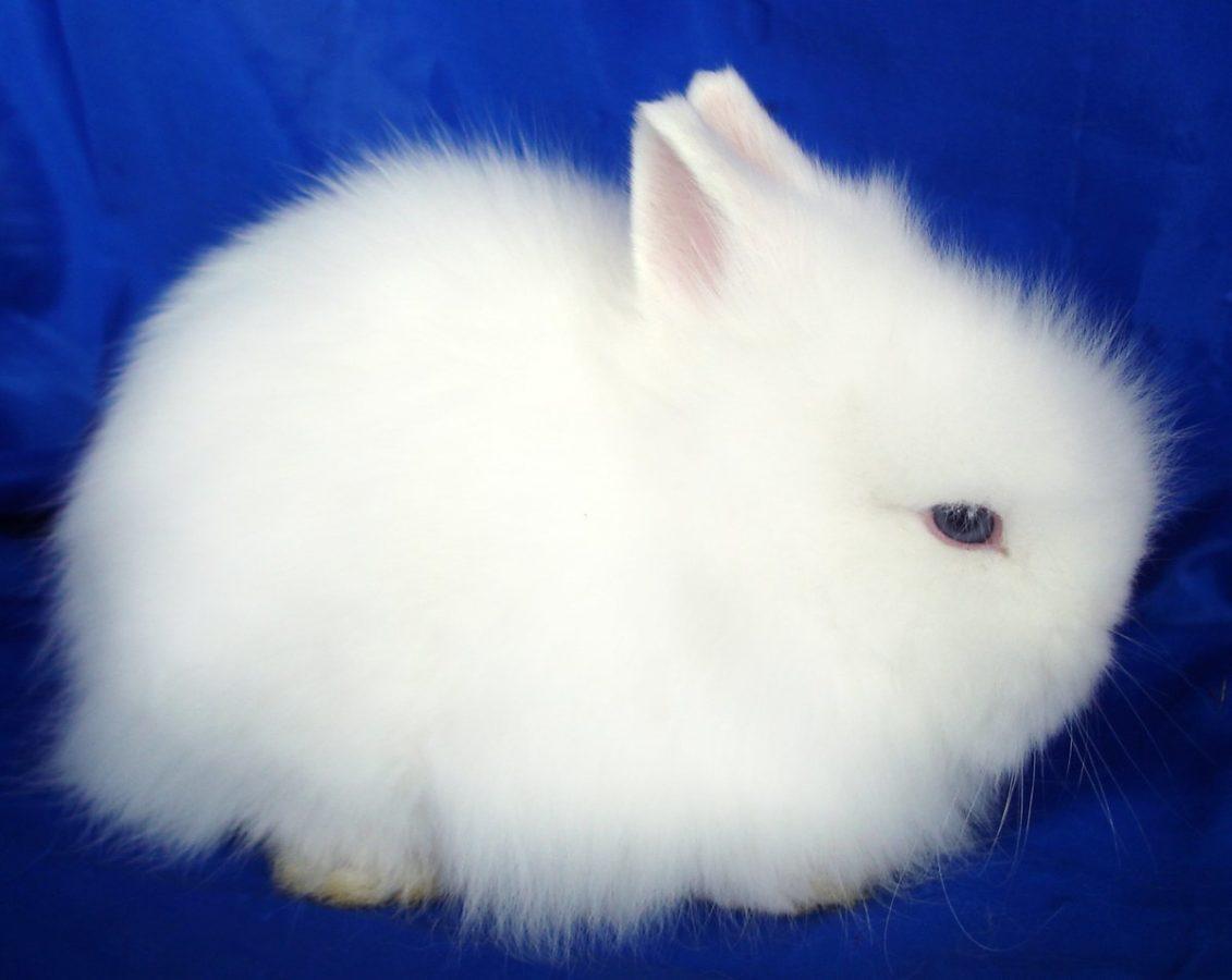 Декоративные кролики ангорский