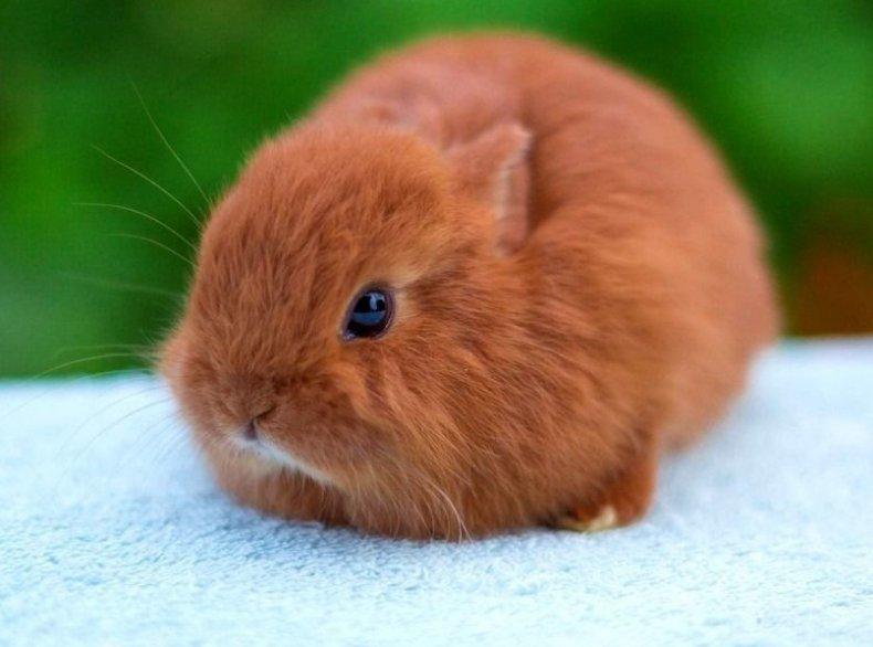 Декоративные кролики лисий