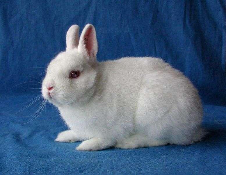 Декоративные кролики гермелин