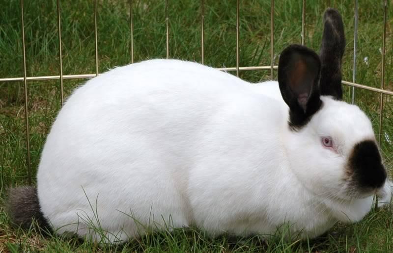 боня пездой калифорнийская порода кроликов описание с фото культурные объекты привлекают