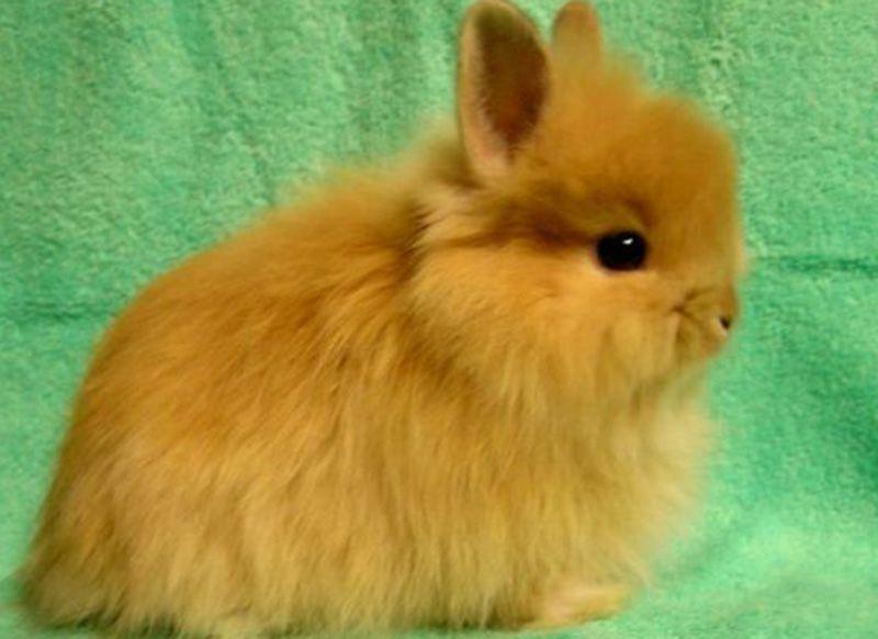 Домашний кролик лисий карликовый