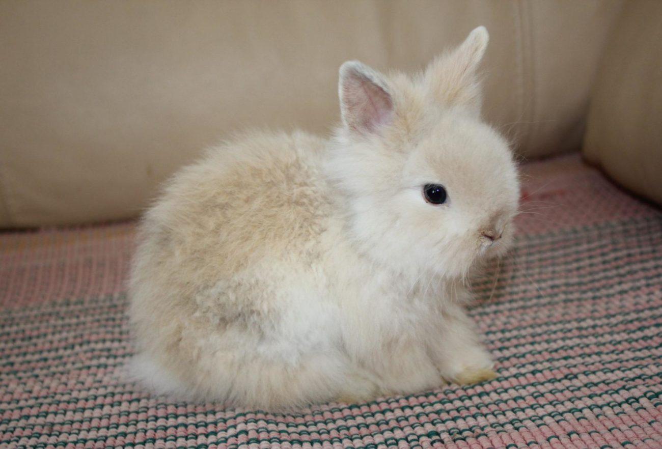 Ангорский кролик