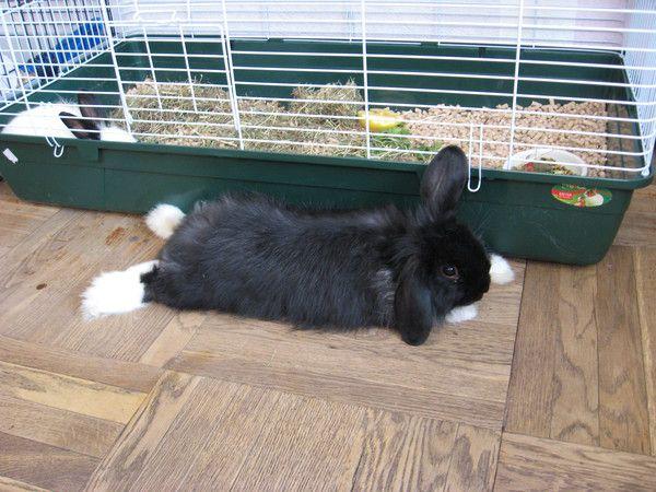 Некастрированные самцы декоративных кроликов будут оставлять плохо пахнущие метки также вне своего домика