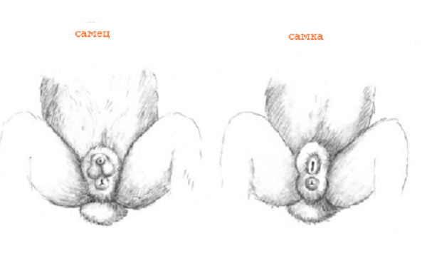 Внешний вид сформировавшихся гениталий кроликов обоих полов