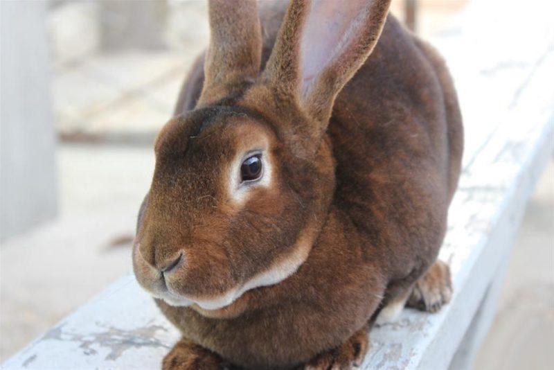 Кролик рекс происхождение породы