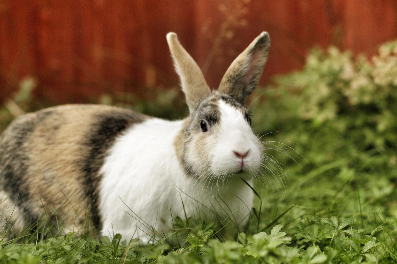 Типы конституции кроликов