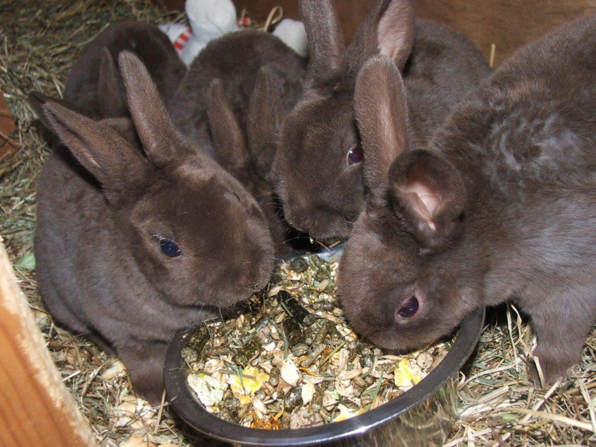 Кормление кроликов рекс