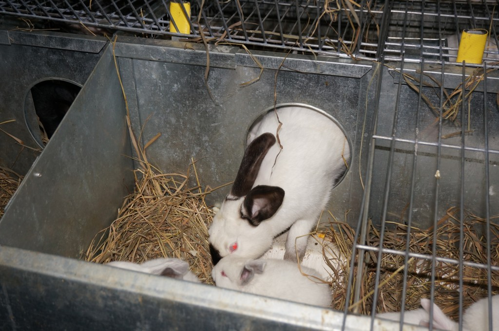 Признаки скорых родов у кроликов