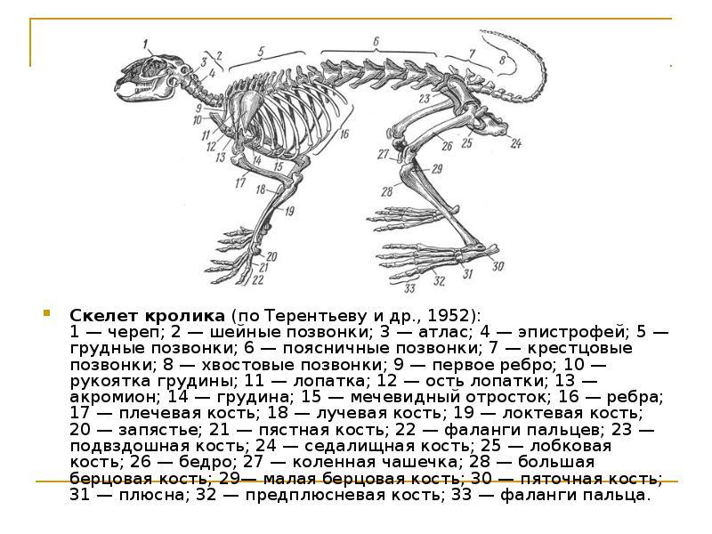 Скелет кролика схема