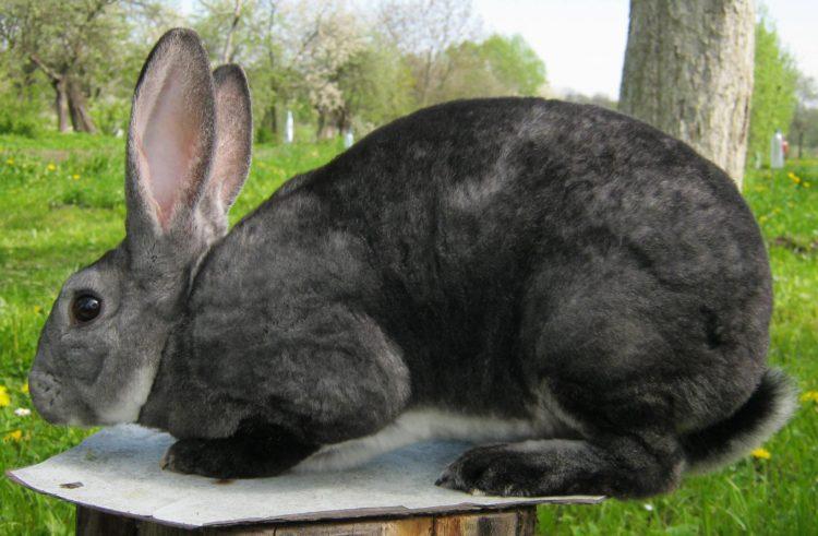 Кролик рекс описание