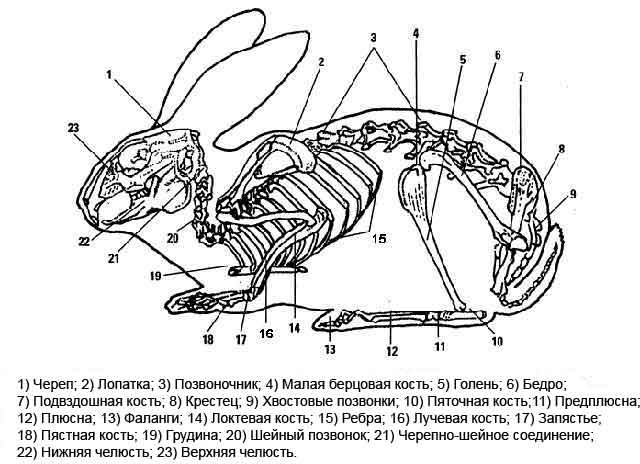 Строение скелета кролика
