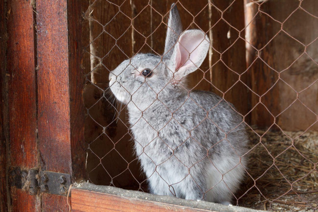Отказ от спаривания у кроликов