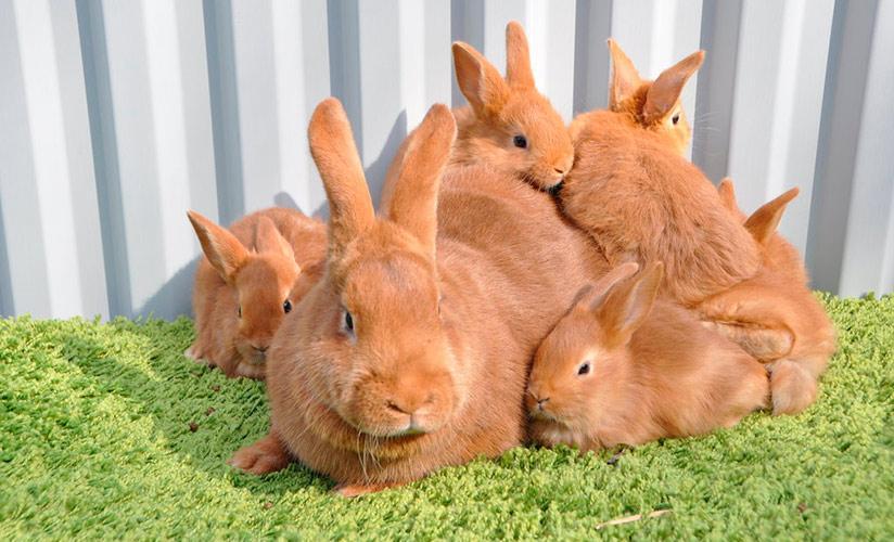 Достоинства новозеландского кролика