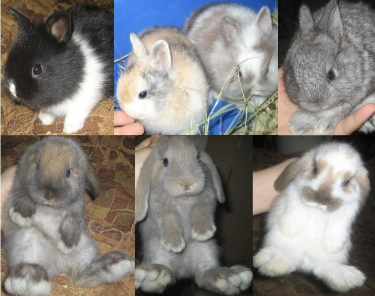 Квалификация декоративных кроликов