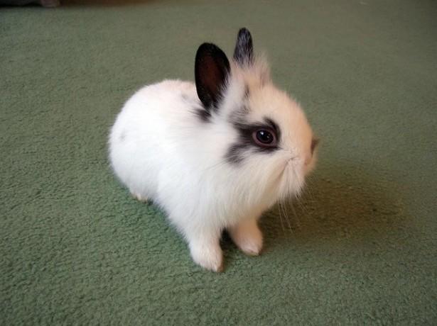 Кролик Карликовый русак